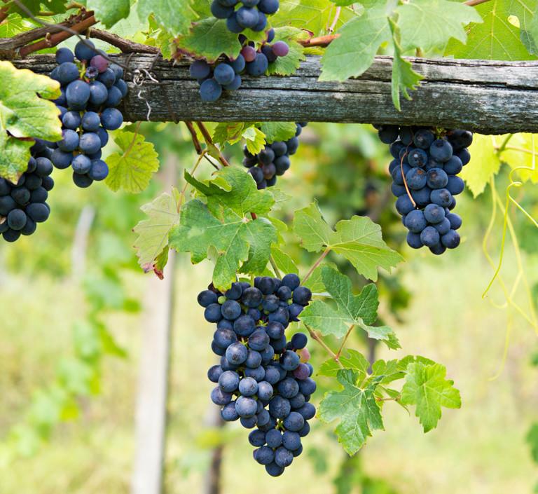 rsu-piedmont-wineyards